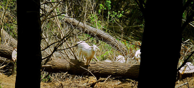 I've been trying to get half decent close up photos of this family of goats for almost three years (ever since I got my Canon G10) and finally I got some today. Ideally I'd have a nice Canon EF 70-200mm f2.8 L II IS USM but at $3945 it is a bit expensive to buy and carry around on the off chance I'll find my goats!