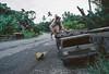 Singe perché sur un camion miniature contenant les noix de coco d'un vendeur sur la Trans-Sumatra. Ile de Sumatra/Indonésie