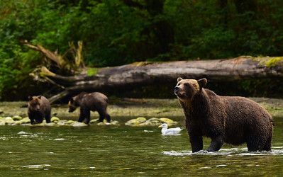 Instead of an African safari, explore the bears, whales and other wildlife in BC's Great Bear Rainforest.