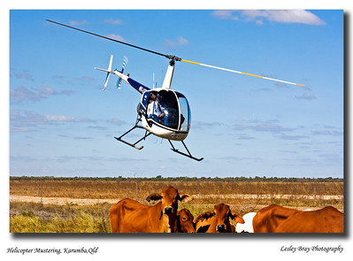 Helicopter Mustering