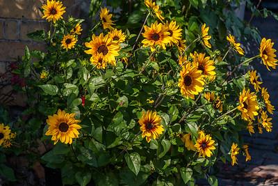 Arley Sunflowers