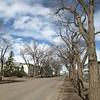 Mature elm trees on 105 Street
