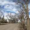 Mature elm trees on 105 Street