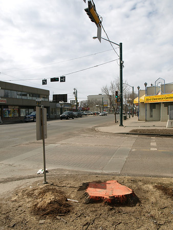 Marked tree stump for removal on 105 Street/107 Avenue