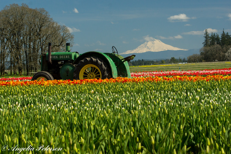 Tulips, tractor, and Mt. Hood.