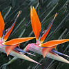 RELCC_155_Birds Of Paradise........Total Points = 8<br /> <br /> Simply Superb!