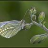 Green Viened White Male Butterfly - Colin Price - Farnborough