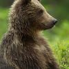 Eurasian Brown Bear - Paul Whitbread - Farnborough