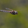 Dragon Fly In Flight - Paul Panetta - RELCCC
