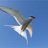Arctic Tern In Flight - Terry Redman - Farnborough