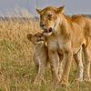 I love you Mum, Lions in the Mara - Wendy Collens - Farnborough