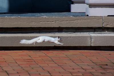 White Squirrel, in flight