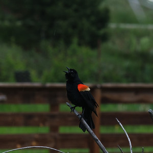 Red Winged Blackbird  - Can you see the rain drops?