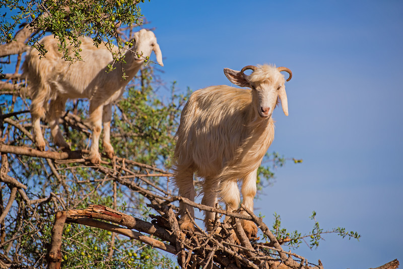 Two Goats In A Tree