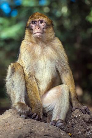 A Monkey Of Morocco