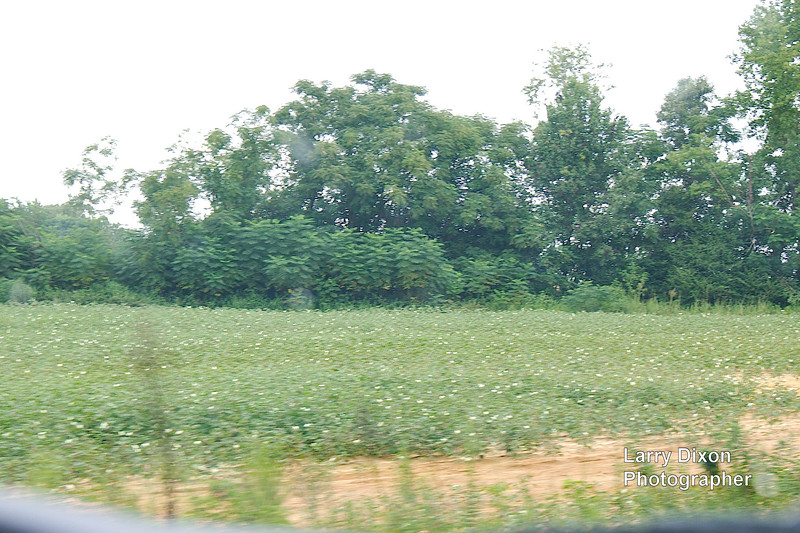 cotton field at 50 miles per hour