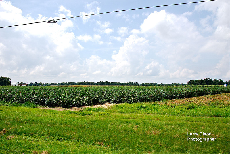 A large cotton field