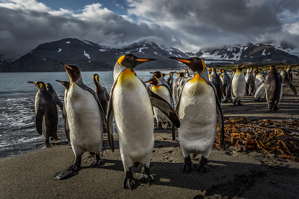 King penguins at Prince Andrews Bay on South Georgia Island