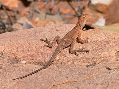 Lizard at Gosse Bluff
