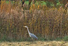 grey heron, Charlottenburg