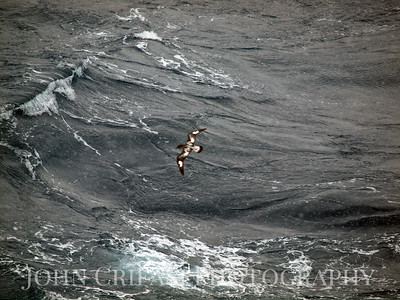 Petrel in rough seas