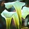 Dublin Lily