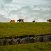 Moher Cattle