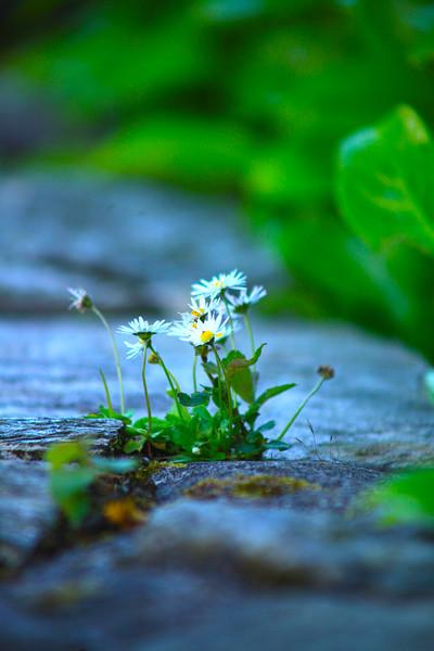 tiny wht daisies