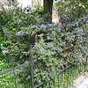 Mysterious, lovely, aromatic blue shrub, Nijmegen -