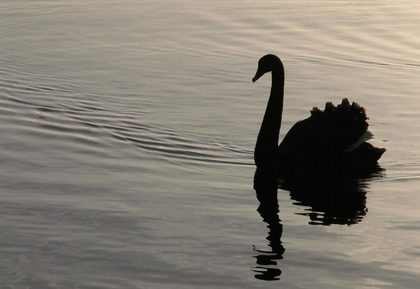 Swan (Australian) on Lake Rotorua