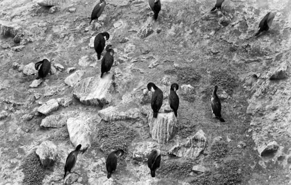 Shags at Royal Albatross Centre