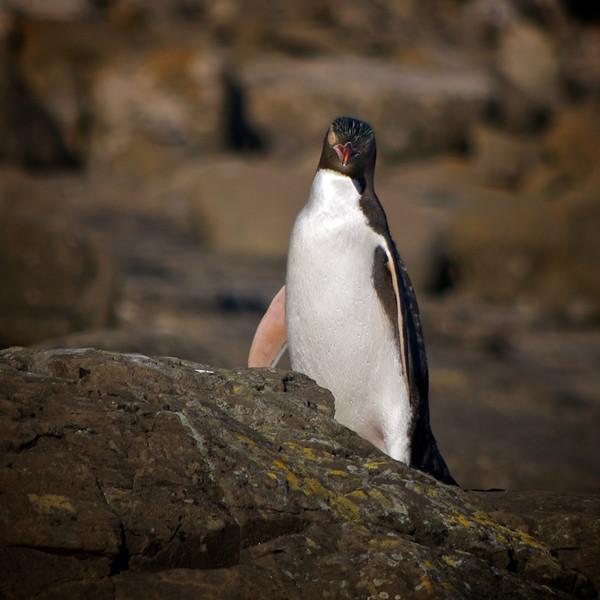 Yellow eyed penguins at Curio Bay