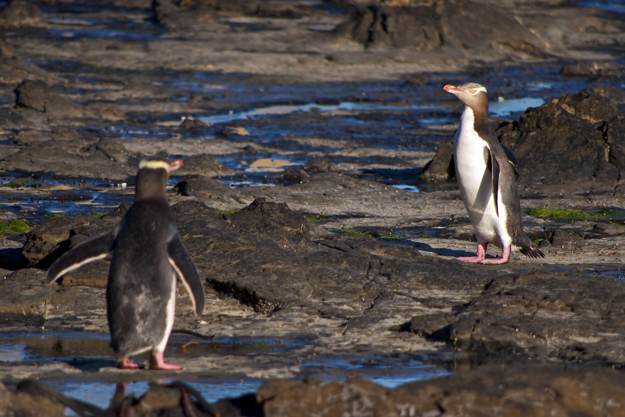 Yellow eyed penguins at Curio Bay