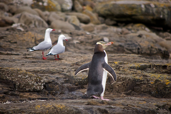 Yellow eyed penguins, Curio Bay