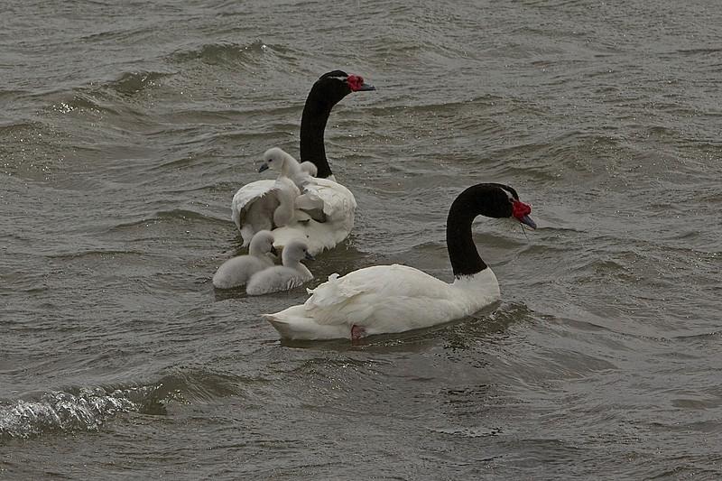 A family of Black-necked Swans in Seno Última Esperanza.