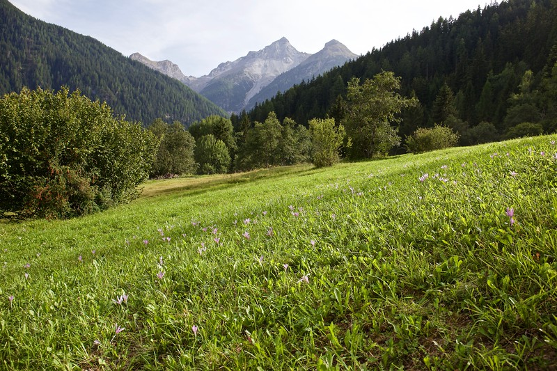 The alpine autumn crocuses were prolific.