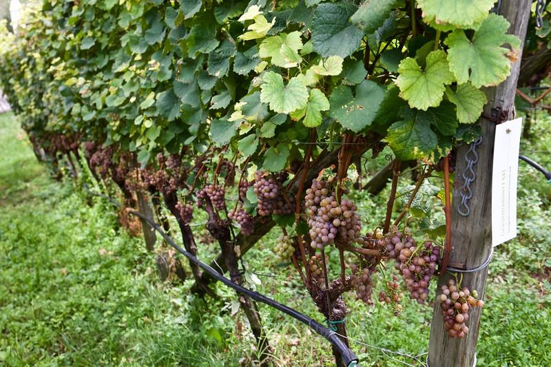 Gewürtztramer, on the vine.