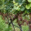 Gewürtztramer, on the vine.