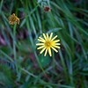I think this is Arnica montana, and certainly one of the last summer flowers.  We saw the season's first snowfall during our stay.