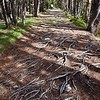 The roots of mountain pine rubbed bare by boots
