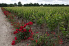 Roses are planted as sentinels, warning of the  first signs of aphids.  Domaine de Chevalier.