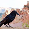 a friendly raven on the edge of the canyon