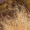 Rice Grass