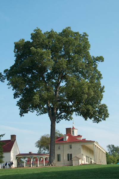 Mt. Vernon with pecan tree