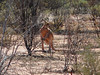 A wild (live!) kangaroo! Cleverly spotted by Beej.