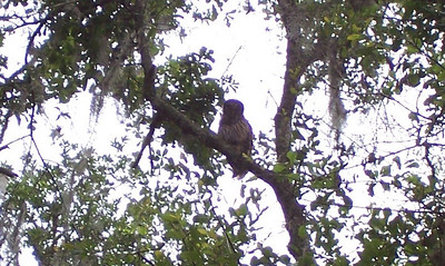 Owl in a tree at Hillsborough River State Park, Thonotosassa, FL