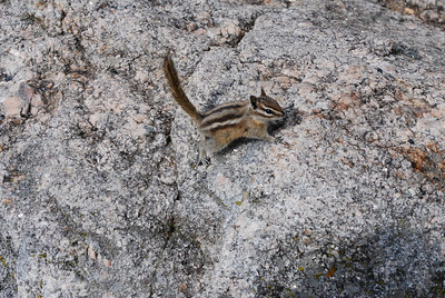 Chipmunk at stop on Iron Mountain Road in Custer State Park, Custer, SD
