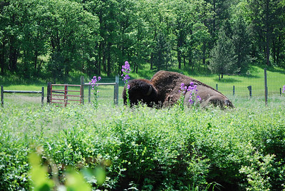 Our first bison in Custer State Park, Custer, SD