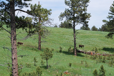 """Wild"" donkeys in Custer State Park, Custer, SD"