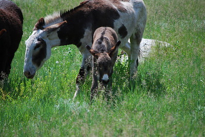More donkeys in Custer State Park, Custer, SD